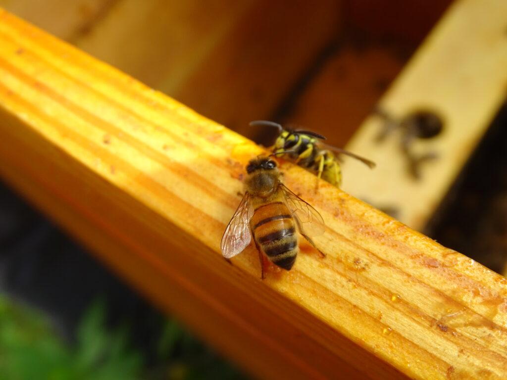 fotografia przedstawiająca dwie pszczoły